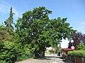 Naturdenkmal Stieleiche in Tulln 09.JPG