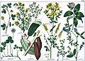 Naturgeschichte des Pflanzenreichs Tafel XXXIX.jpg