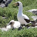 Nazca Booby with chick (32820074567).jpg