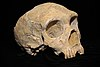 Neanderthal skull from Forbes' Quarry, Gibraltar; discovered 1848