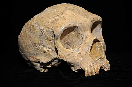 """Gibraltar Woman"" - a Neanderthal who lived in Gibraltar some 50,000 years ago Neanderthal skull from Forbes' Quarry.jpg"