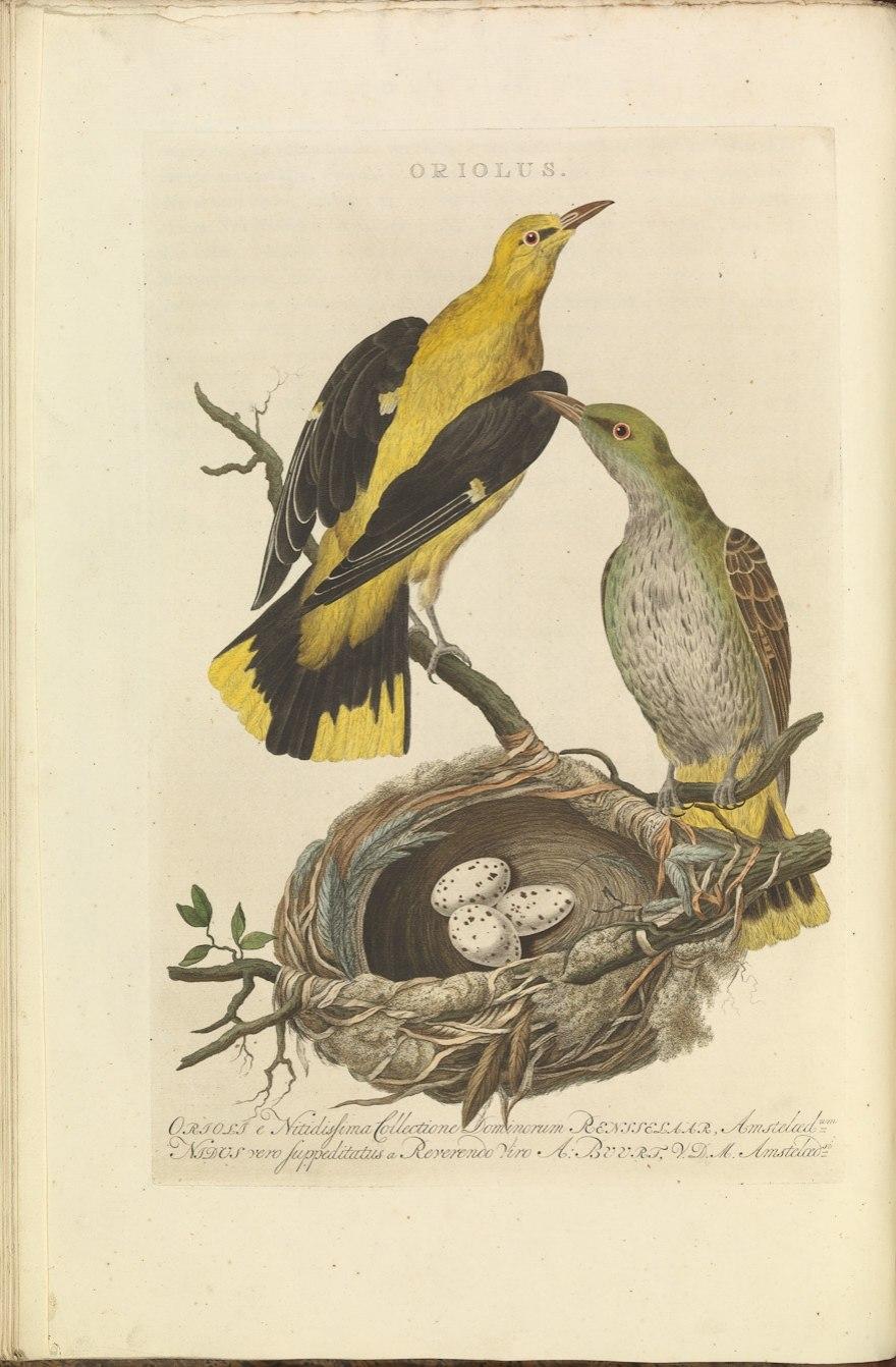 Nederlandsche vogelen (KB) - Oriolus oriolus (018b)