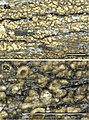 Neoprotoparmelia australisidiata MycoKeys 5a.jpg