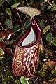 Nepenthes macfarlanei lower pitcher.jpg