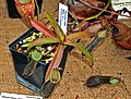 Nepenthes mikei 1.jpg