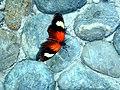 Neruda aoede ssp. aliciae.jpg