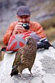 Nestor notabilis -Mount Aspiring National Park, New Zealand-8 (1).jpg