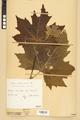 Neuchâtel Herbarium - Acer platanoides - NEU000026117.tiff
