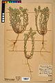 Neuchâtel Herbarium - Alyssum alyssoides - NEU000021927.jpg