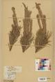 Neuchâtel Herbarium - Pinus sylvestris - NEU000003779.tif