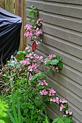 New Bush - Weigela Vanicek Red (14131134861).jpg