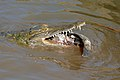 Nile Crocodile (Crocodylus niloticus) trying to swallow a big Tilapia (Oreochromis sp.)... (16657357690).jpg