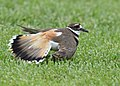 No one can fake an injury like a Killdeer (34125994883).jpg