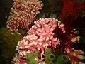 Noble coral at Rachel's Reef P2110215.jpg