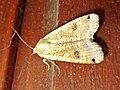 Noctua pronuba (Noctuidae) (Large Yellow Underwing) - (imago), Arnhem, the Netherlands.jpg