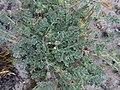 Noordwijk - Reigersbek (Erodium sp).jpg