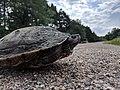 Northern Map Turtle (42972072992).jpg