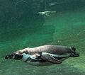 Nyíregyháza Zoo, Spheniscus humboldti.jpg