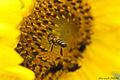 O voo da abelha.jpg