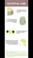 Occipital lobe fun facts.png