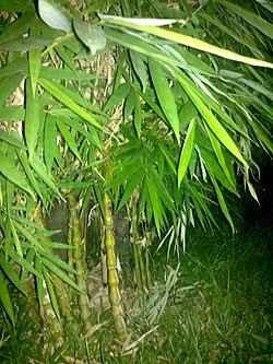 Ochlandra scriptoria plant.jpg