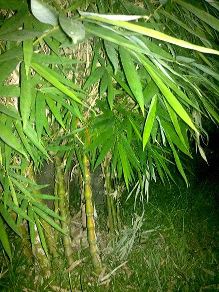 പ്രമാണം:Ochlandra scriptoria plant.jpg