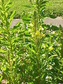 Oenothera biennis0.jpg