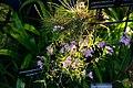 Oerstedella centradenia - Internationale Orchideen- und Tillandsienschau Blumengärten Hirschstetten 2016.jpg