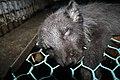 Oikeutta eläimille - Fur farming in Finland 06.jpg