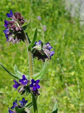 Læge-Oksetunge (Anchusa officinalis).