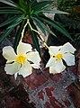 Oleander by sankar.jpg