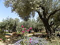 Olive trees in the traditional garden of Gethsemane (6409597079).jpg