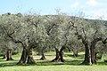 Olivenbäume Umbrien.jpg