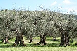 Echte Olivenbäume (Olea europaea ssp. europaea) in Umbrien