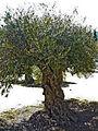 Olivo en Estepa.JPG