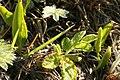 Ophioglossum-vulgatum1.jpg
