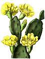 Opuntia inermis BlKakteen108.jpg