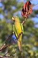 Orange-fronted Parakeet (8258745980).jpg