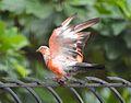 Orange shade pigeon 2.jpg