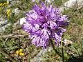 Orchidea Neotinea tridentata, Parco naturale Regionale dei Monti Simbruini.jpg