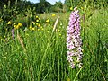 Orchids by Hindley Hill Woods - geograph.org.uk - 22049.jpg