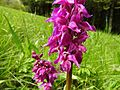 Orchis mascula 20.jpg