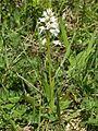 Orchis militaris var. alba Saarland 01.jpg