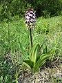 Orchis purpurea sl36.jpg