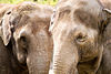 Oregon Zoo elephant pair closeup.jpg
