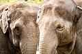 Oregon Zoo elephant pair closeup.jpg