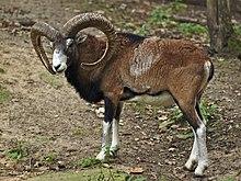 European Mouflon Sheep - Hunting Exotics in Canada - Silvertine ...