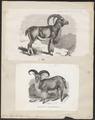 Ovis tragelaphus - 1700-1880 - Print - Iconographia Zoologica - Special Collections University of Amsterdam - UBA01 IZ21300105.tif