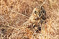 Owl Hiding In The Grass (189016407).jpeg