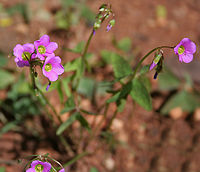 Oxalis dehradunensis (Dun Ambushi) in Hyderabad, AP W IMG 9723.jpg